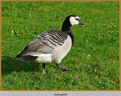 barnacle-goose-04.jpg