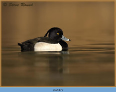 tufted-duck-47.jpg