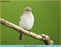 spotted-flycatcher-45.jpg