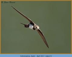 alpine-swift-17.jpg