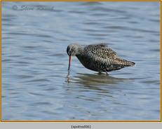 spotted-redshank-06.jpg