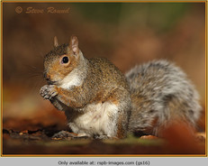 grey-squirrel-16.jpg