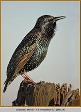 starling-14.jpg