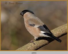 bullfinch-49.jpg