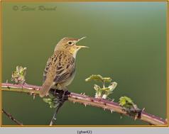 grasshopper-warbler-42.jpg