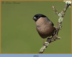 bullfinch-52.jpg