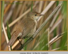 reed-warbler-03.jpg