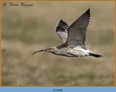 curlew-68.jpg