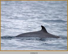 minke-whale-12.jpg