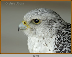 gyr-falcon-01c.jpg