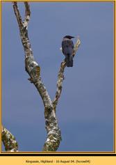 hooded-crow-04.jpg