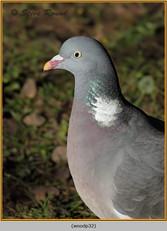 wood-pigeon-32.jpg