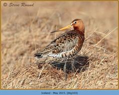 black-tailed-godwit-103.jpg