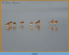 black-tailed-godwit- 80.jpg
