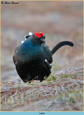black-grouse- 88.jpg