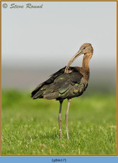 glossy-ibis-17.jpg