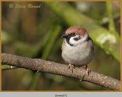 tree-sparrow-27.jpg