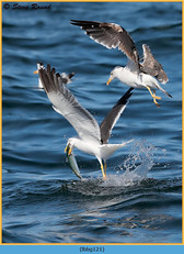 lesser-black-backed-gull-121.jpg
