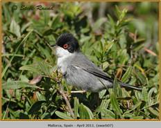 sardinian-warbler-07.jpg