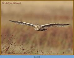 short-eared-owl-67.jpg