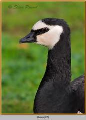 barnacle-goose-07.jpg