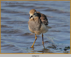 white-tailed-lapwing-11.jpg