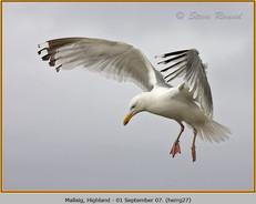 herring-gull-27.jpg