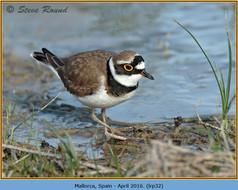 little-ringed-plover-32.jpg
