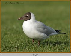black-headed-gull-57.jpg
