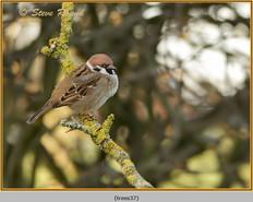 tree-sparrow-37.jpg