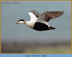 eider-duck- 82.jpg