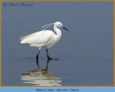 little-egret-61.jpg