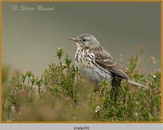 meadow-pipit-29.jpg