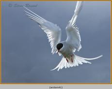 arctic-tern-41.jpg