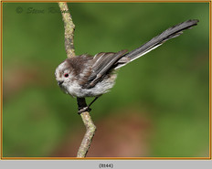 long-tailed-tit-44.jpg