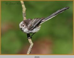 long-tailed-tit-44.jpg