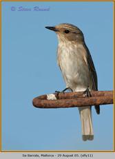spotted-flycatcher-11.jpg