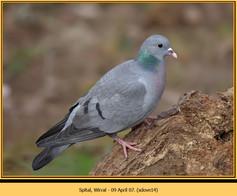 stock-dove-14.jpg