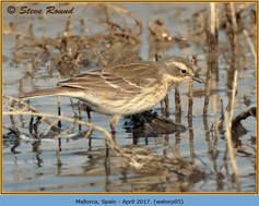 water-pipit-05.jpg