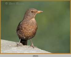 blackbird-60.jpg