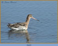 black-tailed-godwit- 69.jpg