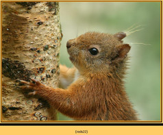 red-squirrel-22.jpg