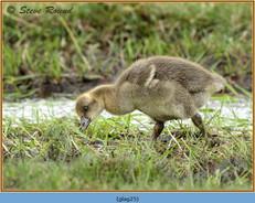 greylag-goose-25.jpg