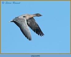 pink-footed-goose-84.jpg