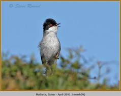 sardinian-warbler-09.jpg