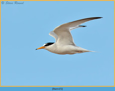 little-tern-15.jpg