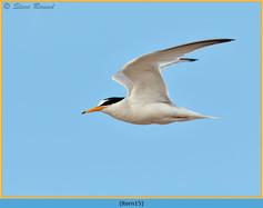 little-tern-15.jpg