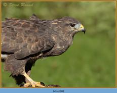 buzzard- 68.jpg