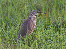 indian-pond-heron-02.jpg