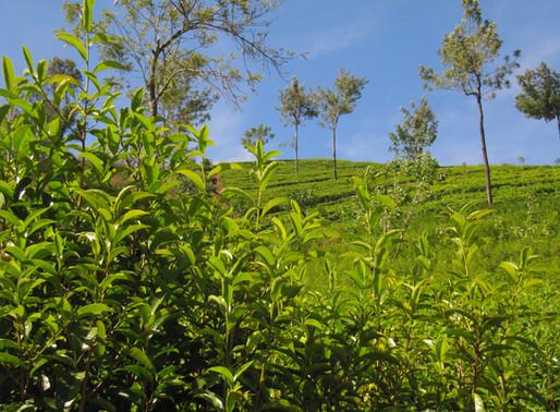 An Indonesian White Tea Bud Story